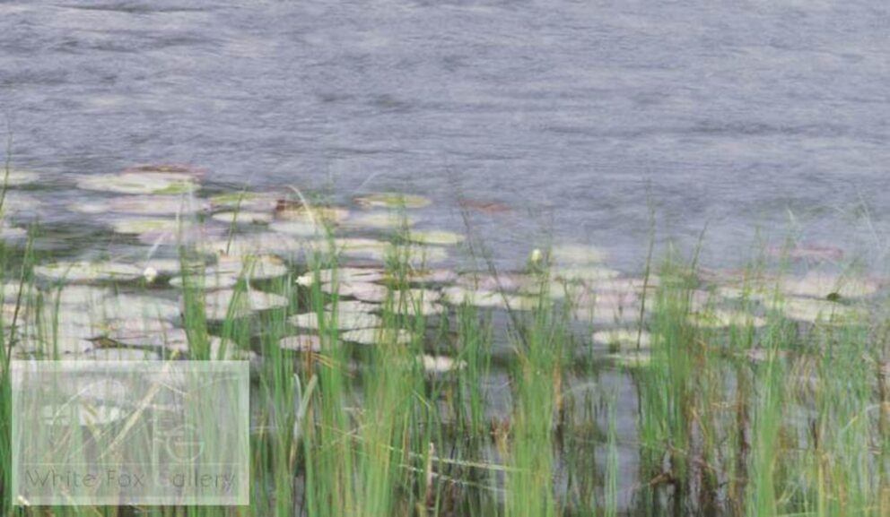 Water Lilies in the Wind