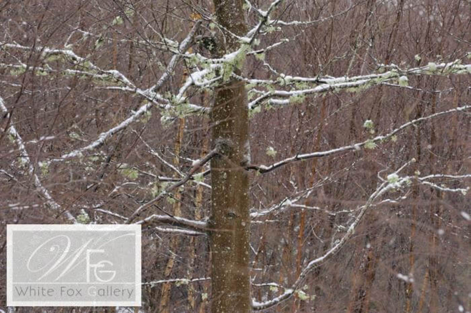 Snow on the Sycamore Boughs