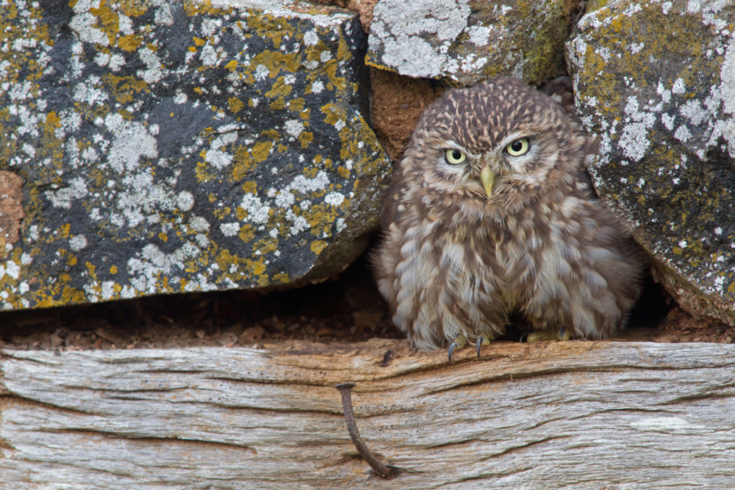Little Owl and the rusty nail